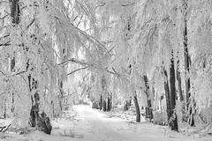 *winter wonderland* (Albert Wirtz @ Landscape and Nature Photography) Tags: albertwirtz erbeskopf winter winterwonderland snow schnee frost hoarfrost raureif wanderweg trail wandern schneewanderung hiking nature natur landscape paesaggi campo campagne campagna paisaje paysage tree wald forest baum weg path blackwhite bw schwarzweis monotone monoton nikon d700 winterzauber wintermagic germany deutschland allemagne rheinlandpfalz rhinelandpalatinate hunsrück thalfang thranenweier albertwirtzlandschaftsundnaturfotografie albertwirtzlandscapeandnaturephotography finesttrees fineartphotography fineart bestofwinter winterlandschaft wintermoments absoluteblackandwhite