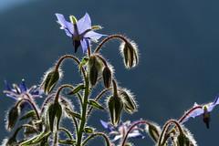 Métamorphose (Metamorphosis) (Larch) Tags: macro plante plant fleur flower jardindecîmes jardin garden soleil sun lumière light beautemps niceweather été summer chaleur heat métamorphose metamorphoser change bourrache