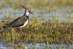 Northern lapwing  (Vanellus vanellus) - czajka zwyczajna (tomaszberlin) Tags: nature wildlife birdwaching bird animal poland czajka nikon lapwing biebrza marsh swamps ng bw