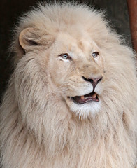 african white lion Ouwehands 094A0035 (j.a.kok) Tags: whitelion witteleeuw leeuw lion africa afrika afrikaanseleeuw africanlion afrikaansewitteleeuw africanwhitelion animal mammal zoogdier dier predator ouwehands ouwehandsdierenpark ouwehand credo pantheraleoleo timbavati