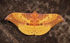 Moon Moth (Lemaireia luteopeplus, Saturniidae) (John Horstman (itchydogimages, SINOBUG)) Tags: insect macro china yunnan itchydogimages sinobug entomology canon moth lepidoptera saturniidae yellow trap topf25 top tumblr fb