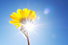 Desert Sunflower (Geraea canescens) (steveberardi) Tags: desert sunflower geraeacanescens flower wildflower nature california sbfavorites