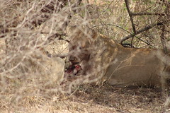 Lions Feeding on a Fresh Kill (Rckr88) Tags: lions feeding fresh kill lionsfeedingonafreshkill krugernationalpark southafrica kruger national park south africa lion lioness bigcat nature naturalworld outdoors wilderness wildlife