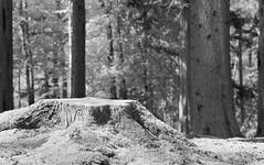 Stumped ... (Elisafox22) Tags: elisafox22 sony nex7 50mmf28 macro carlzeiss lens touitmakroplanar hmbt monochromebokehthursday forest trees pines pinetrees fochabers moray scotland treestump monotone shadows bw monochrome blackandwhite light bokeh dof patterns textures outdoors elisaliddell©2019