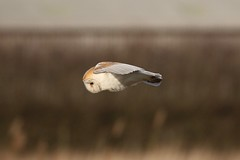 0M2A3657 Barn Owl (kevin_livesey) Tags: