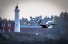 Eagle and Gull (Paul Rioux) Tags: nature avian sea gull bald eagle fisgard lighthouse bird in flight chase harass raptor predator prioux