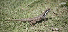 Lizard #3 (Loops666) Tags: lizard animal reptile leiocephalus grass animalia chordata tetrapodomorpha