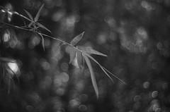 Sumei (bamboosage) Tags: meyeroptik oreston 1850 m42
