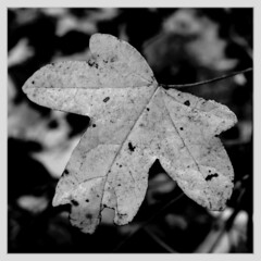 Feldahornblatt, HMM! (dorotheazinsser) Tags: macromondays bw centersquarebw ahorn feldahorn fieldmarpel leaf autumn herbst