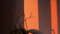 09.10.2018 (Fregoli Cotard) Tags: light sunset sadmemories minimal minimalisticdesign minimalplant houseplants orchids 282365 282of365 dailyjournal dailyphotography dailyproject dailyphoto dailyphotograph dailychallenge everyday everydayphoto everydayphotography everydayjournal aphotoeveryday 365everyday 365daily 365 365dailyproject 365dailyphoto 365dailyphotography 365project 365photoproject 365photography 365photos 365photochallenge 365challenge photodiary photojournal photographicaljournal visualjournal visualdiary