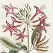 Upright Honey-fuckle (Ciflus Virginiana), Yellow Jasmine (Falminum lute odoratum Virginiana), Hamamelis, Frutex corni foliis from The Natural History of Carolina, Florida, and the Bahama Islands (1754) by Mark Catesby (1683-1749).