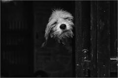 (andaradagio) Tags: andaradagio bianconero bw canon dog cane miglioramicodelluomo nadiadagaro rifugiopercaniagriliaonlus littledoglaughednoiret