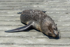 A young seal resting (Peter.Stokes) Tags: australia australian awayfromitall beach coast coastline colour colourphotography holiday jetty pier rye sand sea seal sky victoria waves landscapes landscape nature photo photography