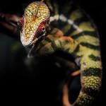 Panther Chameleon thumbnail
