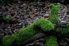 The living green (nordelch61) Tags: deutschland hessen naturschutzgebiet mönchbruch totholz moos waldboden laub ast