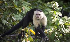 Enrique, Monkey Island