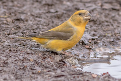 DSC4190  Crossbill... (Jeff Lack Wildlife&Nature) Tags: crossbill crossbills birds avian animal animals wildlife wildbirds woodlands wildlifephotography jefflackphotography forest forests forestofdean forestry pineforest pines trees countryside nature redcrossbill commoncrossbill