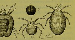 This image is taken from Page 74 of Les acariens parasites [electronic resource] (Medical Heritage Library, Inc.) Tags: acari arachnid vectors wellcomelibrary ukmhl medicalheritagelibrary europeanlibraries date1892 idb20406186