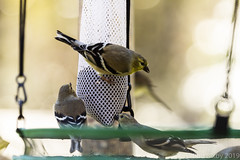 BackyardBirds_1-21-19-42 (RobBixbyPhotography) Tags: florida goldfinch jacksonville backyard birds