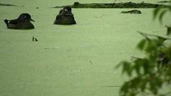 Wood Duck_3759.mp4 (Henryr10) Tags: eastforklake eastforkstatepark bethelohio littlemiamiriverbasin usa stevenewmantrailhead woodduck aixsponsa aix duck avian bird vogel ibon oiseau pasare fågel uccello tékklistar waterfowl wodu