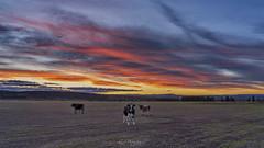 _DSC7451 copy (kaioyang) Tags: swansea tasmania sunset colourburst cattle bull sony a7r3 sonyfe24105mmf4g