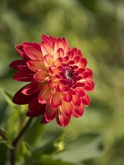 Dahlia **---+----° (Titole) Tags: dahlia flower shallowdof titole nicolefaton challengegamewinner thechallengefactory unanimouswinner 15challengeswinner