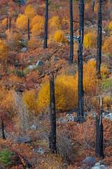 Reborn (jeff's pixels) Tags: autumn nature leavenworth landscape nikon d850 trees tree fire burnt