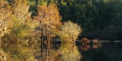 Falls Coming to the Bayou (jodycoker1) Tags: bodcau wma bayou cypress fall water swamp louisiana affinity