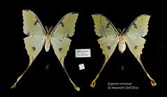 Argema mimosae (achrntatrps) Tags: saturnidae saturnidés comet comète argemamimosae alexandre dellolivo photographe photographer nikon achrntatrps achrnt atrps radon200226 radon d850 nikkor 2470mm f28 g saturninii nikkor2470mmf28g macro focusstacking bombycoidea lepidoptera insecta arthropoda animalia silkmoth moth butterfly cometmoth falter