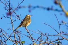 Redwing (photofiendish) Tags: burryport wales unitedkingdom gb