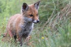 Young Fox (DanRansley) Tags: britain danransleyphotography danransleynet england gb greatbritain uk unitedkingdom vulpesvulpes animal canine fox mammal nature redfox wildlife