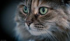 Wide Eyes (Melissa M McCarthy) Tags: bella cat kitty pet animal portrait face closeup macro feline rescue green eyes big pupils cute pretty canon7dmarkii highiso sigma105mmmacro