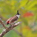 Bulbul orfeo / Red-whiskered bulbul / Pycnonotus jocosus