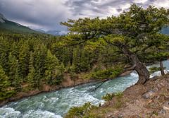On Edge (Philip Kuntz) Tags: tree bristleconepine pinuslongaeva pine bowfalls stormy bowriver banff alberta canada