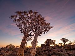 P1118649-LR (carlo) Tags: panasonic g9 dmcg9 africa africanlandscape namibia keetmanschoop quivertreeforest quivertree alberofaretra