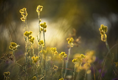 gold nuggets (gnarlydog) Tags: australia wildflowers yellow manualfocus shallowdepthoffield vintagelens adaptedlens kodakanastigmat63mmf27 backlit softlight flowers flare dreamy goldenhour eveninglight nature