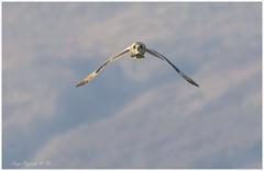 Incoming.! (nondesigner59) Tags: asioflammeus shortearedowl headon flight predator hunting owl bird wildlife nature copyrightmmee eos7dmkii nondesigner nd59
