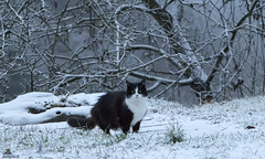 Welcome Winter Solstice 2018 (Xena*best friend*) Tags: zivadavid weathergirl ncisspecialagent wintersolstice2018 snow cold cats whiskers feline katzen gatto gato chats furry fur pussycat feral tiger pets kittens kitty animals piedmontitaly piemonte canoneos760d italy wood woods wildanimals wild paws calico markings ©allrightsreserved purr digitalrebelt6s efs18135mm flickr outdoor animal pet photo nature winter blackandwhitecat