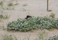 Pied oystercatcher (RossCunningham183) Tags: piedoystercatcher oystercatcher lakeconjola beach nesting nsw australia endangeredspecies