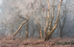 Golden frost (chrismarr82) Tags: woodland fog scotland nikon d750