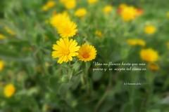 Frases: Uno no florece hasta que uno quiere y se acepta tal como es. (lameato feliz) Tags: naturaleza frases flores pradera alameda