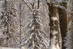 The woods are lovely, dark and deep... (114berg) Tags: 28jan19 evergreens hardwoods windy winter weather geneseo illinois