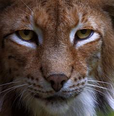 Luchs Nahaufnahme / Lynx closeup (uwe125) Tags: wisentgehege springe fressen beute luchs katze säugetier raubtier predator tier animal lynx eurasian
