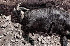 © Zoltan Papdi 2018-7061 (Papdi Zoltan Silvester) Tags: maroc animal bouc chaleur ombre couché noir mort abandon morocco goat heat shadow layer black death abandonment