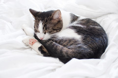 01.20.2019 (TheWeltyFamily) Tags: 2019 january theweltyfamily cat tabby bicolor caroline sleep sleeping
