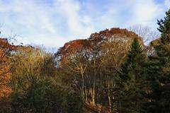 Morning Light (joegeraci364) Tags: tree forest landscape nature sky weather fall autumn season morning scenic serene peace calm pine oak maple yard view color contrast