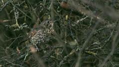 Song Thrush-6870 (WendyCoops224) Tags: 100400mml 80d autumn autumnwatch canon eos localbirdswildlife ©wendycooper song thrush