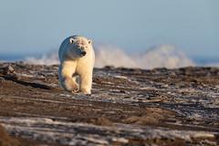 Arctic Beachmaster (Glatz Nature Photography) Tags: alaska animal arctic arcticalaska barterisland bear eyelevelview glatznaturephotography kaktovik mammal nature nikond850 northamerica northslope polarbear ursusmaritimus wildanimal wildlife