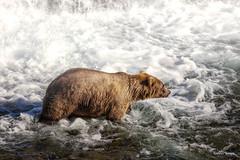 Katmai National Park (Mauricio Romero V.) Tags: bears bear lake wildlife falls river animals adventure outdoor landscape fishing