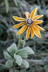 Frosty morning (konradpoland) Tags: polska poland poniatowa flower nature outdoor frost frozen frosty winter nikon sigma 105mm macro natura natural d5200